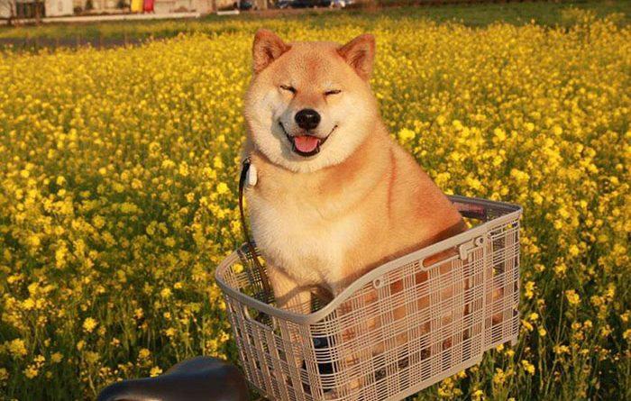 Chú chó Nhật hạnh phúc shiba