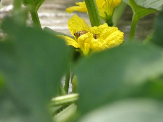Hoa dưa yubarri có màu vàng thu hút nhiều ong đến lấy mật.