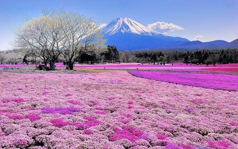 Mùa hè Nhật Bản với những cánh đồng hoa trải dài