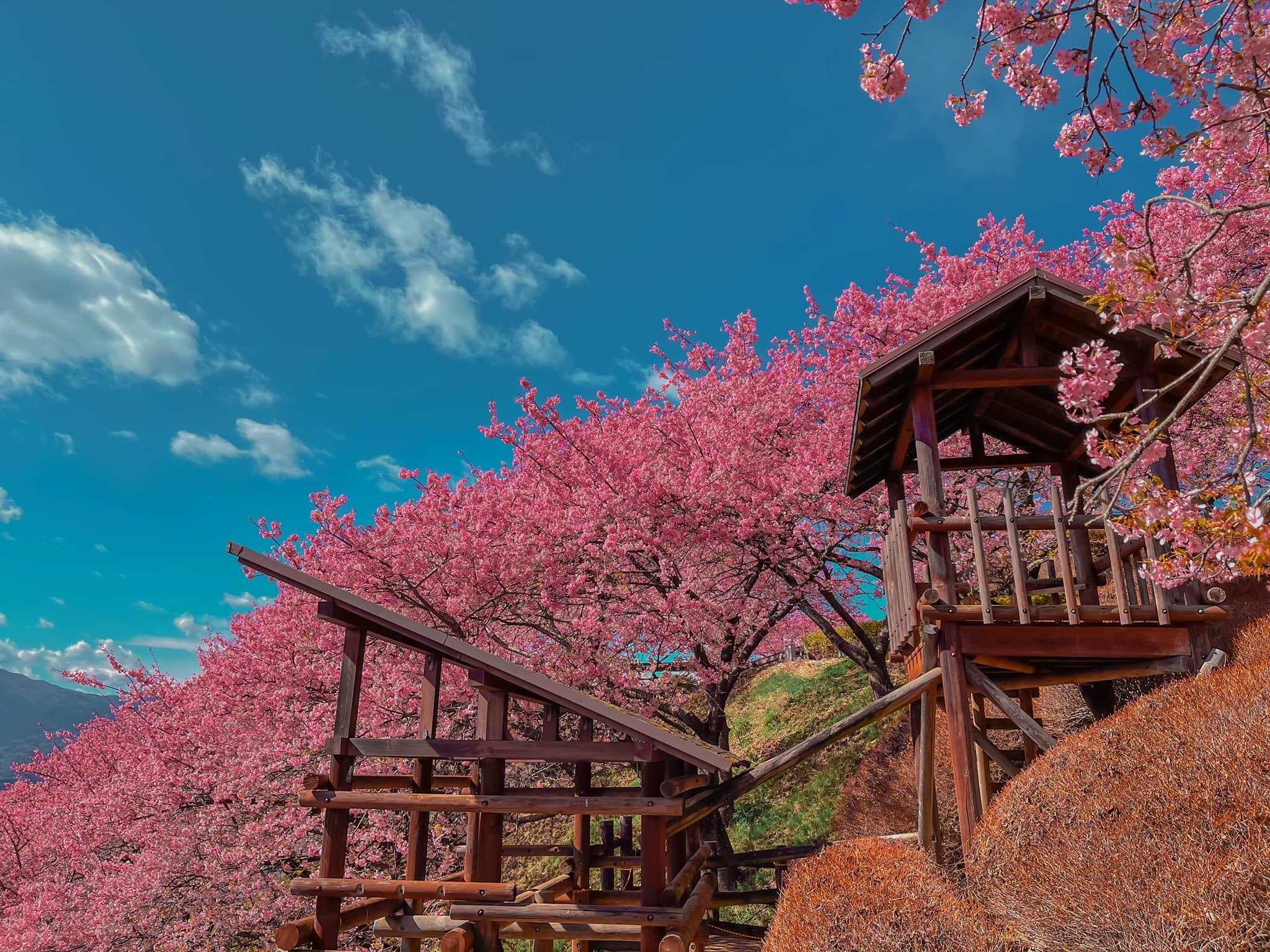 Đi du lịch Nhật Bản vào mùa nào thì đẹp nhất? Đó chính là mùa xuân và những đóa anh đào nở rộ