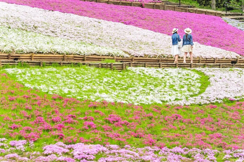 Cao nguyên Chichibu ở Saitama - khung cảnh các bông hoa nở rộ phủ lên mặt đất một tấm thảm hồng