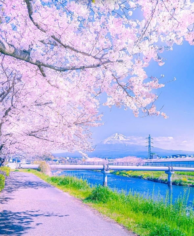 Hoa anh đào ở Shizuoka - thật mơ mộng