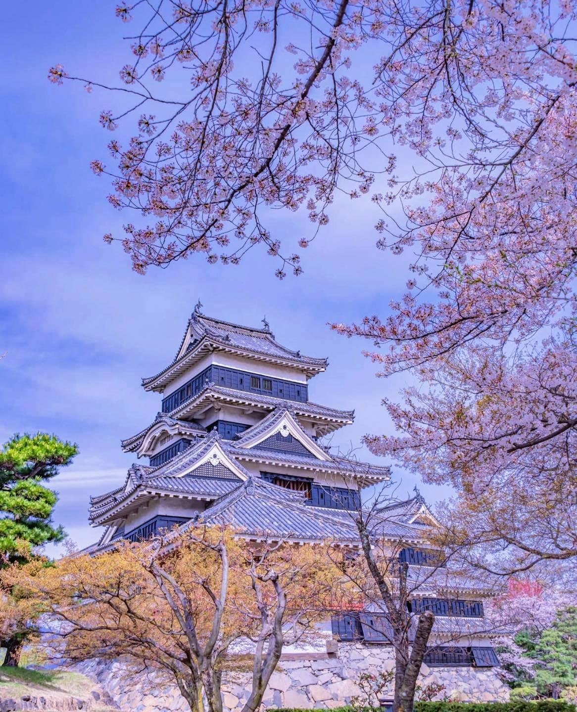 Hoa anh đào tại lâu đài Matsumoto của tỉnh Nagano
