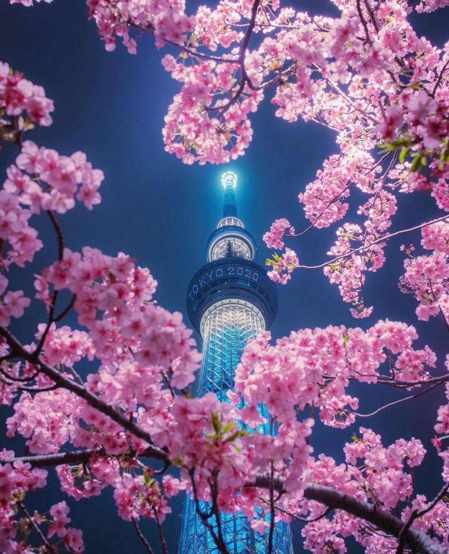 Hoa anh đào dưới tháp Sky ở Tokyo