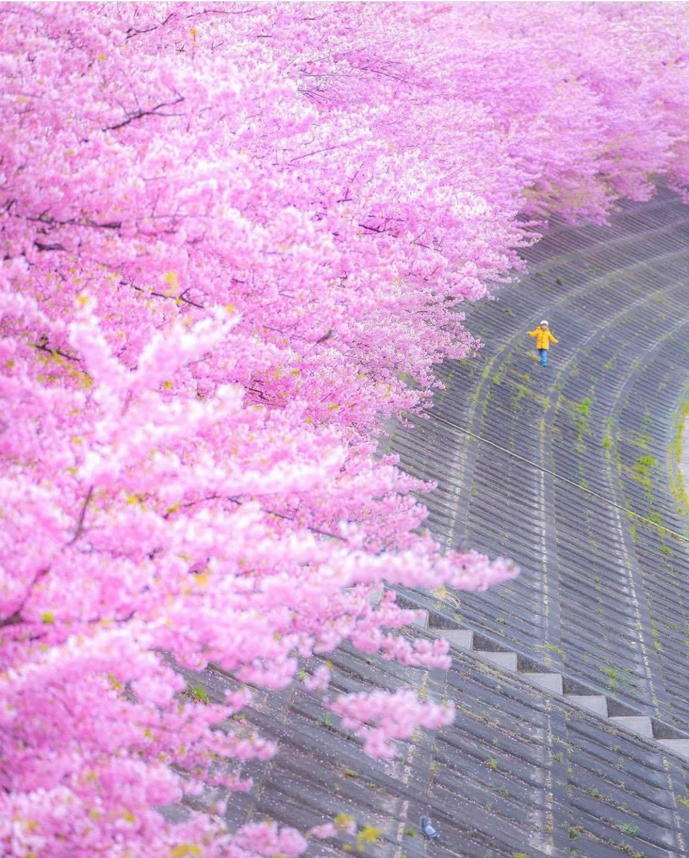 Hoa anh đào đỏ hồng ở Okazaki - Aichi