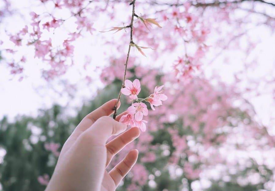 Hoa anh đào Nhật bản tượng trưng cho tuổi thanh xuân