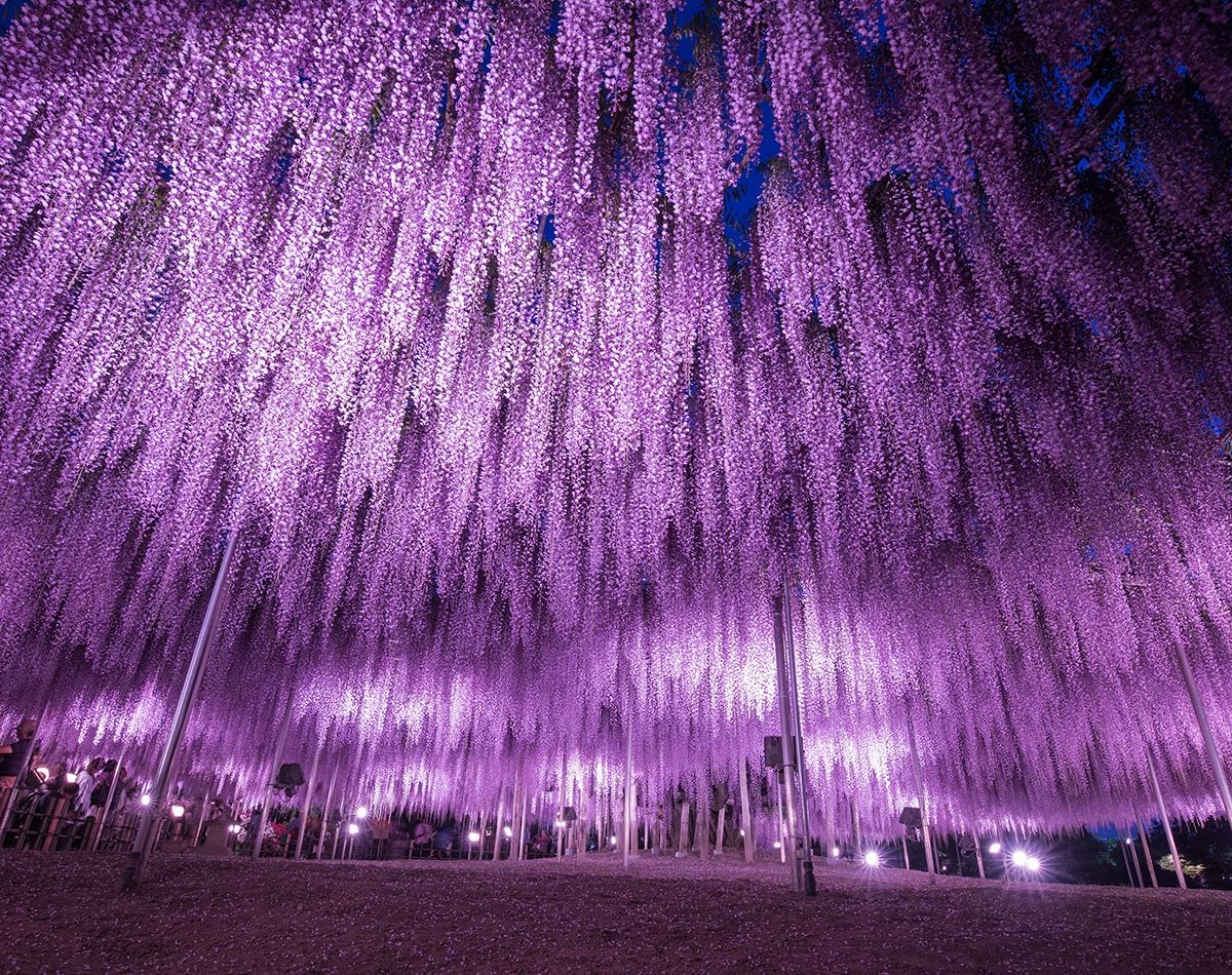 """Hoa tử đằng Nhật Bản """"áng mây"""" kỳ diệu của tạo hóa"""