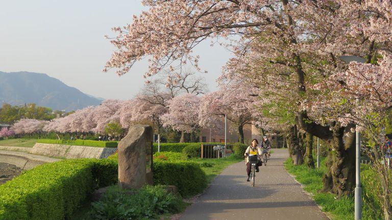 Mùa xuân xứ Phù Tang