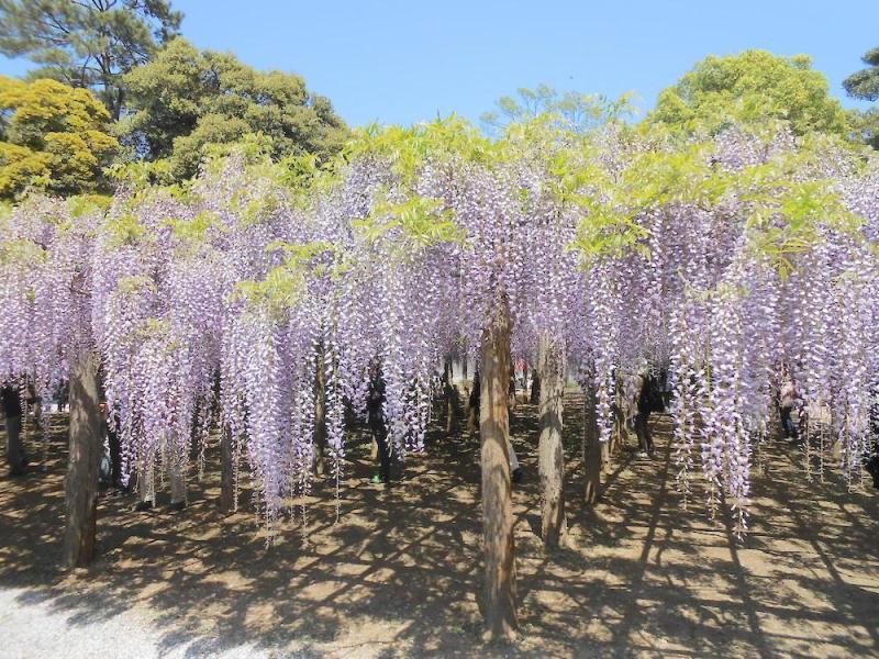 Vườn hoa tử đằng Ushijima no Fuji (Kasukabe, Saitama)