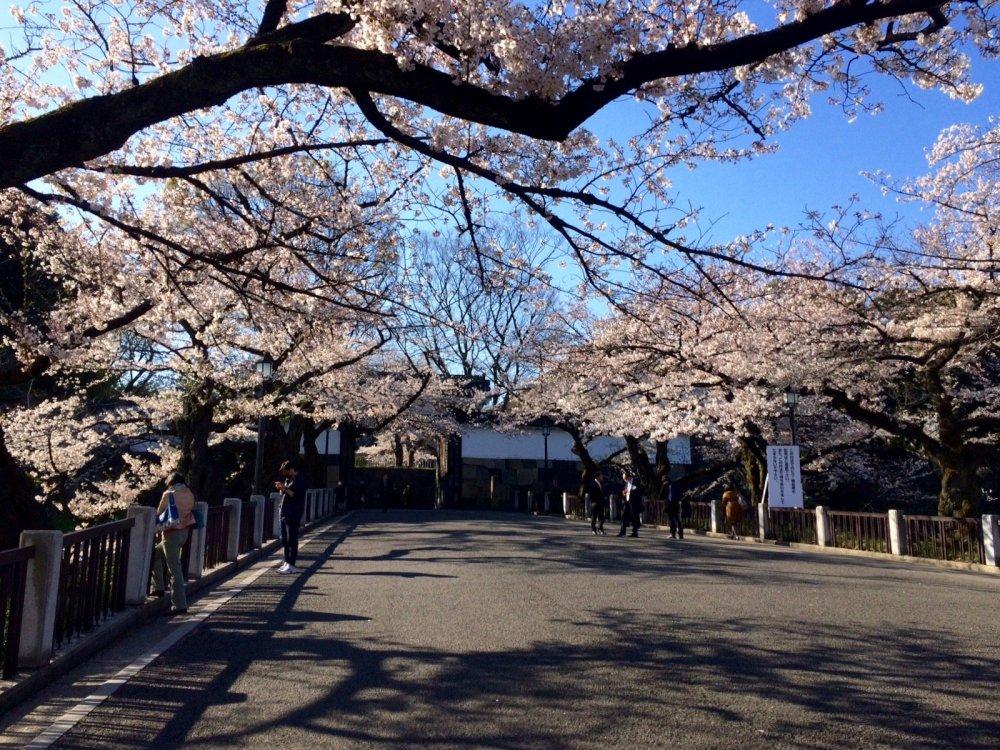 Công viên Kinatomaru và những đóa anh đào nở rộ vào mùa xuân
