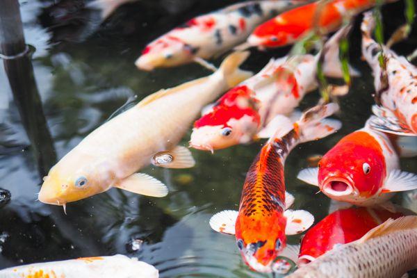 Cá chép Nhật Bản - loài cá quyền quý mang nhiều ý nghĩa biểu tượng của văn hoa nhật bản