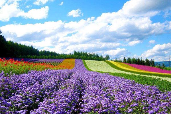 Những cánh đồng hoa vô tận ở Furano, Hokkaido
