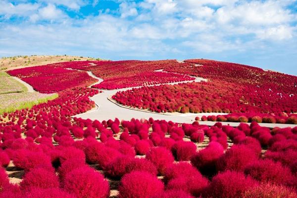 Những đồi cỏ Nhật Bản chuyển đỏ khi thu đến