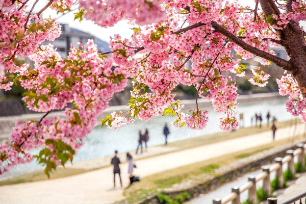 Ngắm hoa anh đào vungf đảo lớn Nhật Bản Kyushu