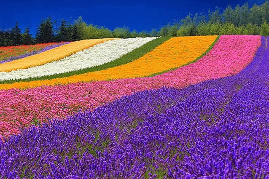 Asahikawa - Cánh đồng hoa oải hương tuyệt sắc