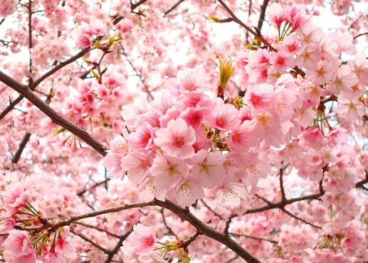 Màu hồng của hoa anh đào Nhật Bản