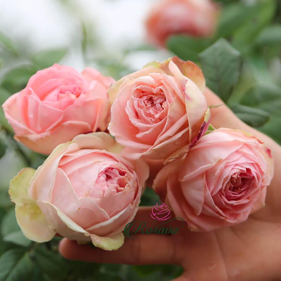 Hoa hồng Ngoại M-Nostalgic Romance rose