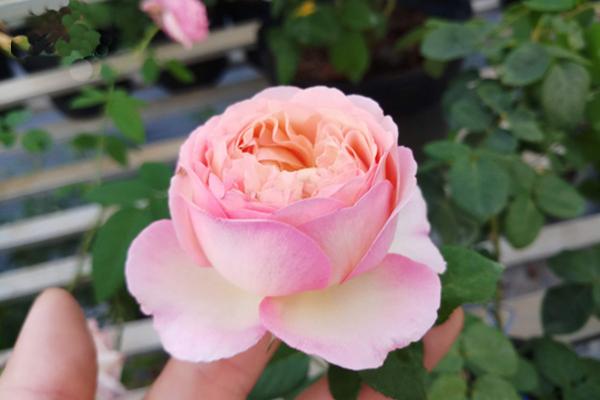 Hoa hồng ngoại Aube Rose